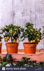 decorative citrus tree fruit tree in a pot orange tree in a pot