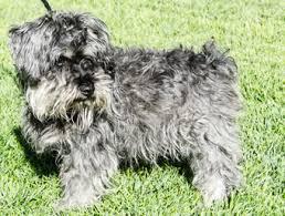 affenpinscher rescue seattle cmsr u2014 dogs adopted 2015