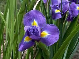 iris bulb 5 pack twilight purple perennial iris