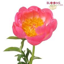 Bulk Peonies Wholesale Peonies U2013 Peony Flowers For Diy Weddings