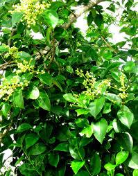 texas native plants list the ligustrum woods of boerne u2014 landscape at its worst