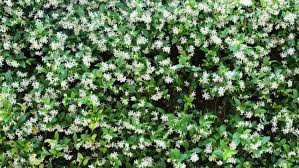 star jasmine on trellis climbers can add charm and protection to any garden
