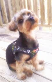 14 best yorkie cuts images on pinterest yorkie haircuts yorkies