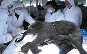 secrets 37 000 baby mammoth revealed telegraph