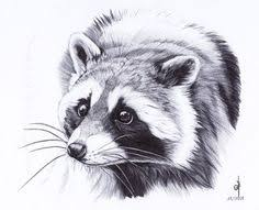 charcoal images sketches raccoon wildlife art graphite pencil
