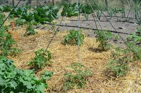 wooden tomato cages u2014 new decoration how to build tomato cages ideas