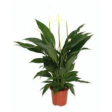 Peace Lily Peace Lily Buy Indoor Outdoor Plants Online Lawnkart Com