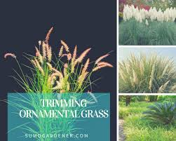 trimming ornamental grass how when to cut sumo gardener