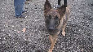 belgian shepherd vancouver kurbis on twitter