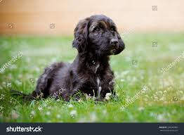 afghan hound dog images brindle afghan hound puppy lying down stock photo 296345984
