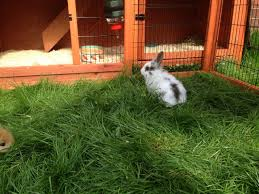 Rabbit Hutches And Runs 2 Female Rabbits Hutch Run And Outdoor Cover Hartlepool
