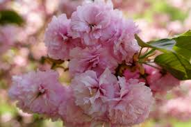 file powder puff tree flowers west virginia forestwander jpg