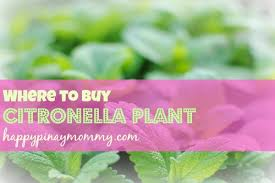 where to buy citronella plant in the philippines happy pinay mommy