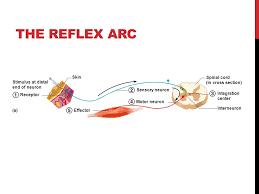 Motor Reflex Arc The Nervous System The Reflex Arc Reflex U2014rapid Predictable And