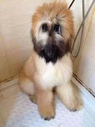 afghan hound grooming styles what an expression afghan hounds b pinterest lovelies an