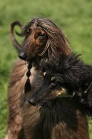 afghan hound ottawa afghan fci group 10 sighthounds pinterest afghans