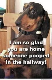 Dachshund Meme - the best dachshund memes ever
