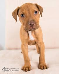 american pitbull terrier hound mix adopted happy tails save a bull rescue