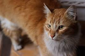 infection in cats symptoms causes diagnosis treatment