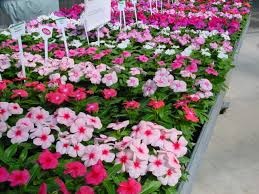vinca flowers vinca catharanthus roseus calyx flowers inc