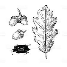 vector oak leaf and acorn drawing set autumn elements stock vector