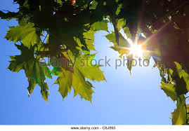 leaf sheets stock photos leaf sheets stock images alamy