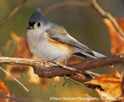 Tennessee birds images Tennessee watchable wildlife tufted titmouse habitat forest jpg