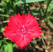 plants native to india design green india best tips for growing dianthus at home