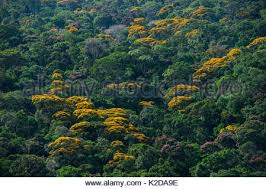 Yellow Flowering Trees - aerial view of tropical rainforest with flowering yellow trees