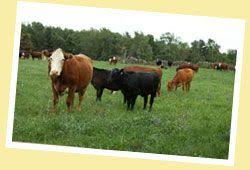 Backyard Cattle Raising Raising Cattle For Beef Production U0026 Beef Safety U2013 Explorebeef Org