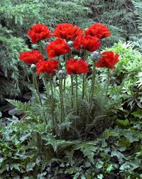 Poppy Flower Garden by May Plant Of The Month Oriental Poppies J Parkers
