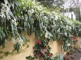 Tree Climbing Plants Evergreen Clematis Flowering Vines For Yearlong Color Hgtv