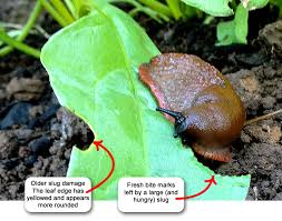 Where Can You Find Snails In Your Backyard Getting Rid Of Slugs With Coffee Grounds Garden Myths