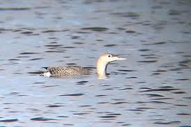 november nature almanac loons grace boulder county
