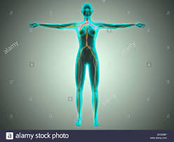 Anatomy Of Women Body Anatomy Of Female Body With Arteries Veins And Nervous System