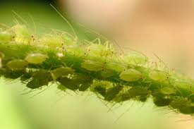 tips for controlling aphids on indoor plants