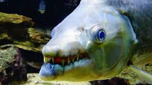 the top 10 most dangerous aquarium fish giant fangs poisonous