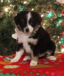 australian shepherd indiana wild wings australian shepherds australian shepherd puppies for