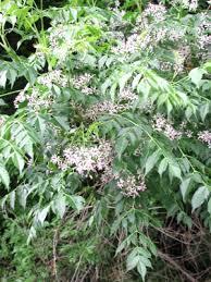 china tree melia azedarach britannica