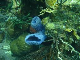 Strawberry Vase Sponge Underwater Photos