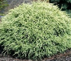 354 best conifers images on evergreen garden