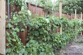 Vegetable Trellis Dallas Fruit And Vegetable Grower Grape Trellis In Dallas