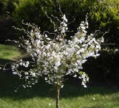 ten trees suitable for small gardens it s time to plant