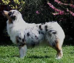 hsf 4 australian shepherd jodie