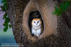 Barn Owl Photography A Single Baby Barn Owl All But Ready To Fly The Nest Whitby