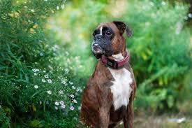 gta 5 boxer dog the adventures of strawberry the boxer album on imgur