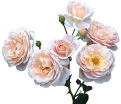 free illustration roses free mother u0027s day free image on