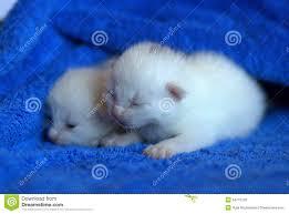 newborn kittens on white stock photos image 31711853