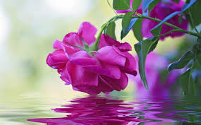 beautiful flower pink rose green leaves reflection in water