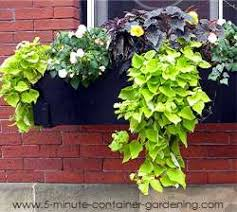 ornamental sweet potato vine i started out with just one in each